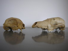 Archaeozoological Collection - Skulls of a cat (Felis domesticus, left) and a fox (Vulpes vulpes, right), photo: Anna Zsófia Biller